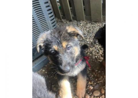 8 GermanShepherd Puppies for sale 7 weeks old!!!!!!